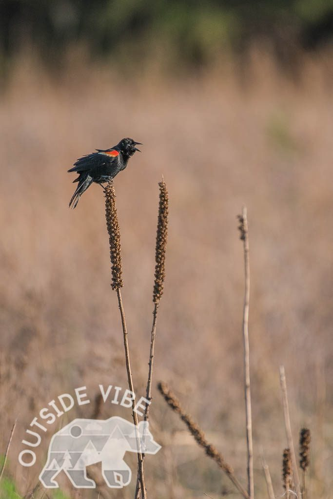 Red-winged Blackbird - Breeding Male